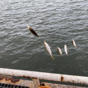 ■【豊浜釣り桟橋】アジ、イワシ、サバ、初心者情報