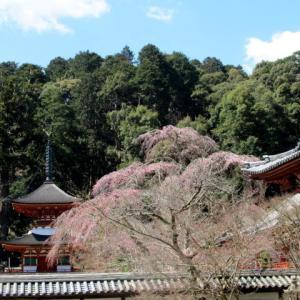 天野山金剛寺の桜~ブログ開始10年!