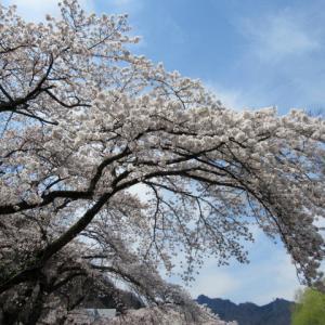 横川・おぎのやの桜が満開 * ドライブスルーお花見♪ ~ コロナ疎開!?