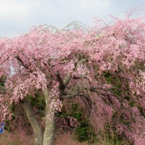 軽井沢の桜・2020 * 4/26・軽井沢 プリンスショッピングプラザ周辺