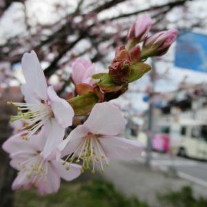 軽井沢の桜・2020 * 4/28旧軽井沢ロータリーのオオヤマザクラ♪
