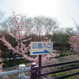 軽井沢の桜・2020 * 数年後には桜の名所になりそうな湯川ふるさと公園♪