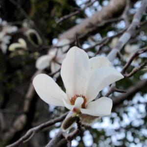 早春のお花 * 辛夷が咲き始めました♪