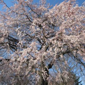 御代田・雪窓公園 * 桜前線は、隣町まで来ています♪