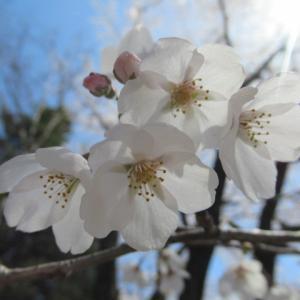 佐久・王城公園の桜が満開♪