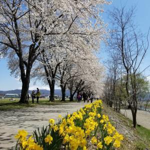 佐久・さくラさく小道 * 千曲川沿いの憩いの桜並木♪