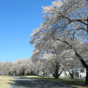 佐久医療センター「いきいきの森」 * 建物とマッチした桜並木が素晴らしい♪