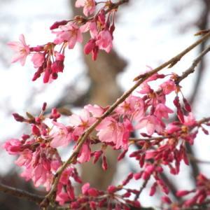 軽井沢の桜・2021 * プリンスホテル・ウエストのリニューアル & 周辺のしだれ桜♪