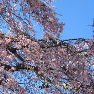 軽井沢の桜・2021 * プリンス通りの紅枝垂れ桜が満開 ~ 矢ヶ崎公園はもう少し♪