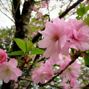 軽井沢の桜・2021 * GW最終日の桜と萌えはじめた新緑♪