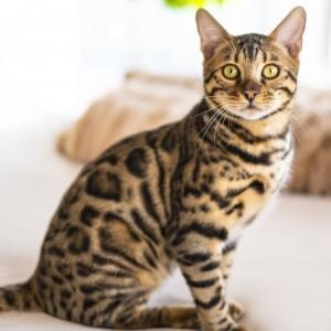 【世界の猫】山猫の血を継ぐワイルドだぜぃキャット~ベンガル