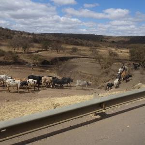タランギーレ国立公園のサファリ:タンザニア