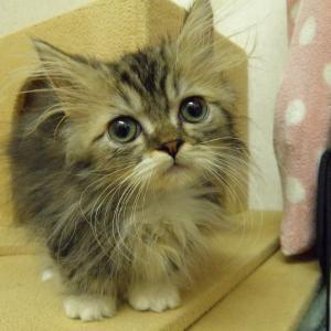 今日は「マンチカンの子猫達やって来ました!」の巻