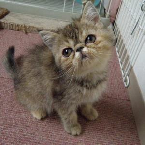 今日は「エキゾの子猫がやって来たぁ~」の巻