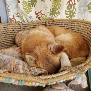 9月16日(水)朝夕は秋です!久し振りにカゴに寝ていました。ベッドメーキングした...