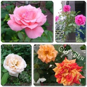 バラの二番花が咲いてきました