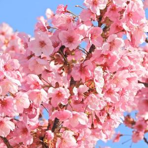 カンヒサクラ(寒緋桜)なのでしょうか?  (大和波止場)