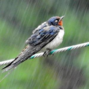 3羽のツバメの幼鳥?が降りしきる雨の中電線に・・・・・。