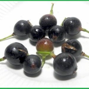 【イヌビワ・いぬびわ・犬枇杷】の黒く熟した果実。