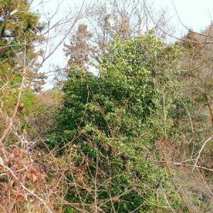 休山と存道路脇で見つけたシキミの大木。