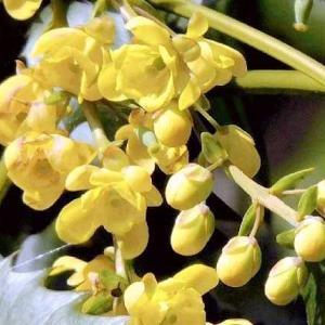 ヒイラギナンテン(柊南天)の黄色い花。
