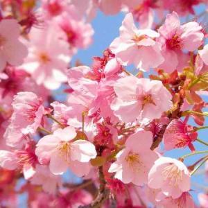 赤くて鮮やかな桜・大和波止場にて撮影。