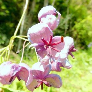 アケビ(木通・通草)の花。