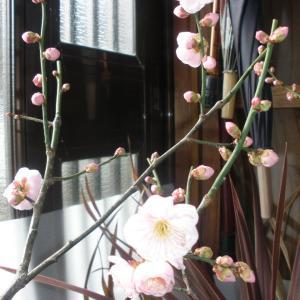 庭先の梅が開花した!!