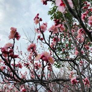 羽根木公園の梅の開花状況2020