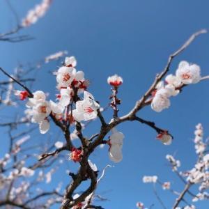梅、桜、そして雪