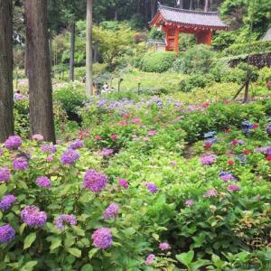 紫陽花  三室戸寺