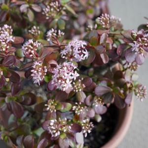 3度目の開花