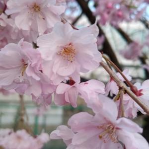 桜ネックレスで・・・お月さまと太陽と朝散歩