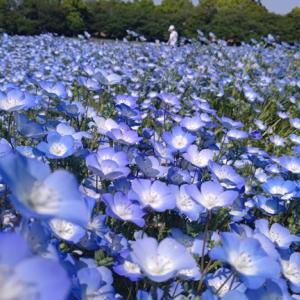 ネモフィラの絨毯と青い空とが織り成す青のハーモニー