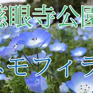 慈眼寺公園ネモフィラ  2020年04月03日