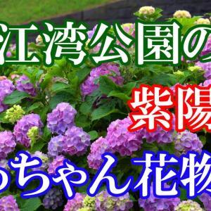 錦江湾公園の紫陽花2020