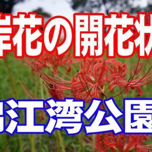 彼岸花の開花状況 鹿児島市錦江湾公園