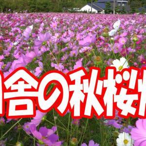 田舎の秋桜畑