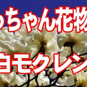 今年も白モクレン咲きました。