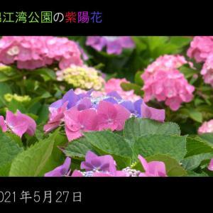 鹿児島市錦江湾公園の紫陽花が見頃になっています。