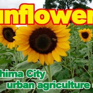 Sunflowers of Kagoshima City urban agriculture center.