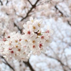 【桜の季節に使えるダイソーのペーパープレート&DWとキャンドゥのアクセサリー】