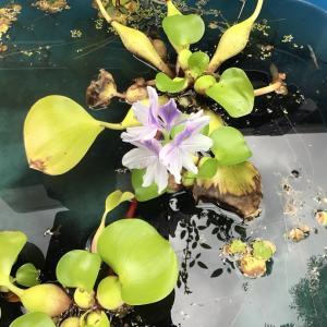 ホテイアオイに花が。