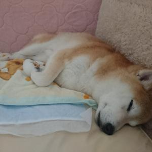 よく眠る柴犬
