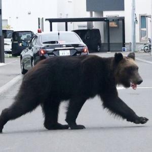 札幌の市街地に出没のクマ、ハンターがライフルで駆除