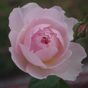 大好きなバラの香り