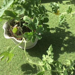 食べたスイカからとった種を植えてみた結果・・・