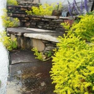 メキシコマンネングサの黄色い花々