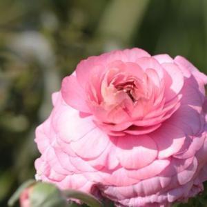 ピンクのラナンキュラス