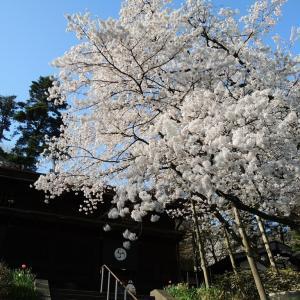 満開の桜を見て癒やされよう!